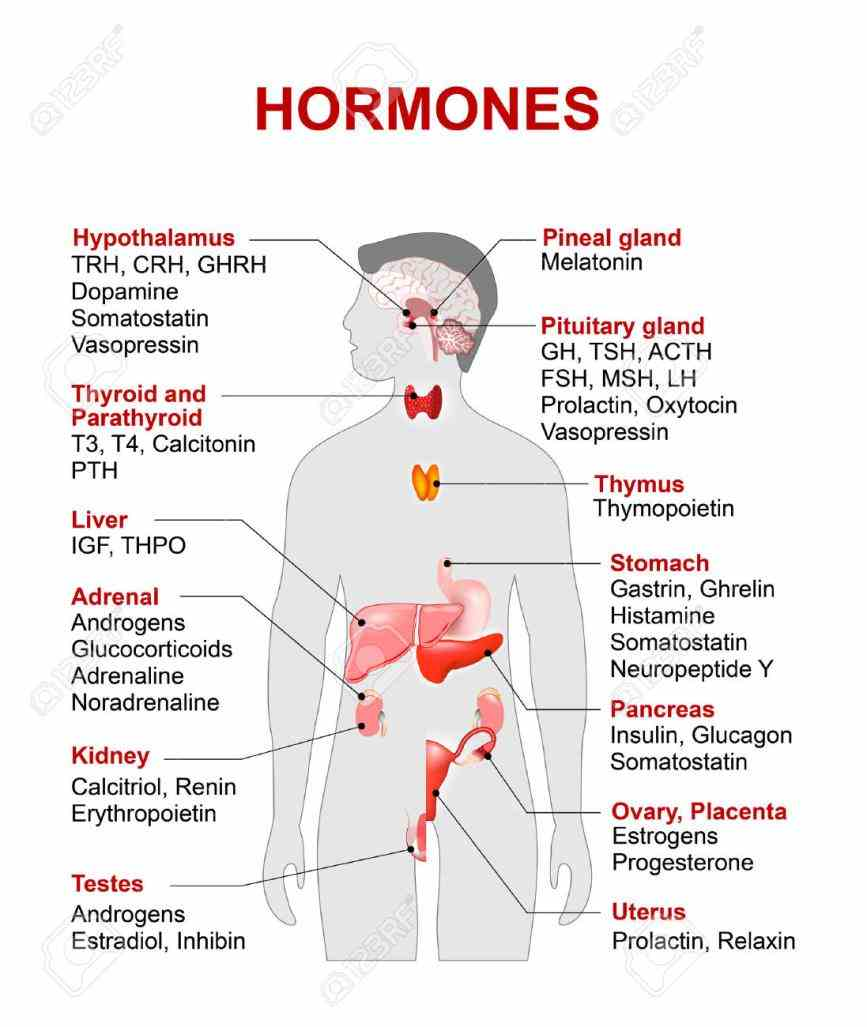 Of Endocrine System the endocrine system for free how does thyroid work what are hormones do regulate body functions