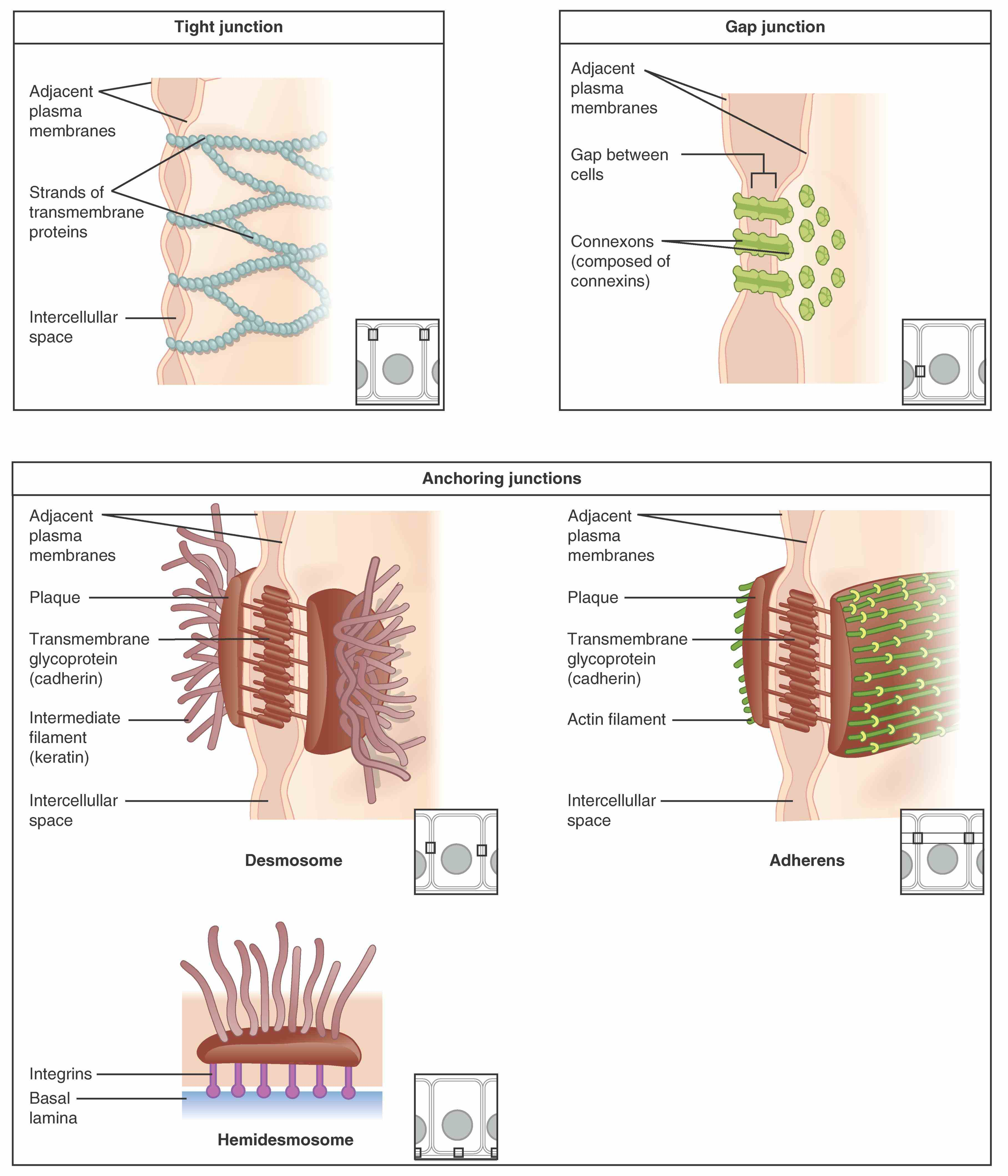 Of Epithelial Tissue more about types of epithelial tissue in the boundless open textbook is classified by cell shape