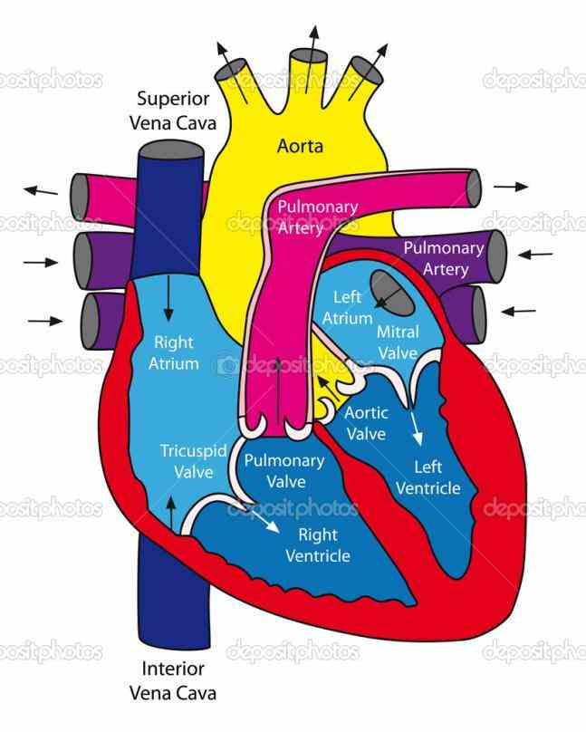 Of Human Heart Anatomy heart is a muscular organ about size of closed fist that functions as bodys circulatory