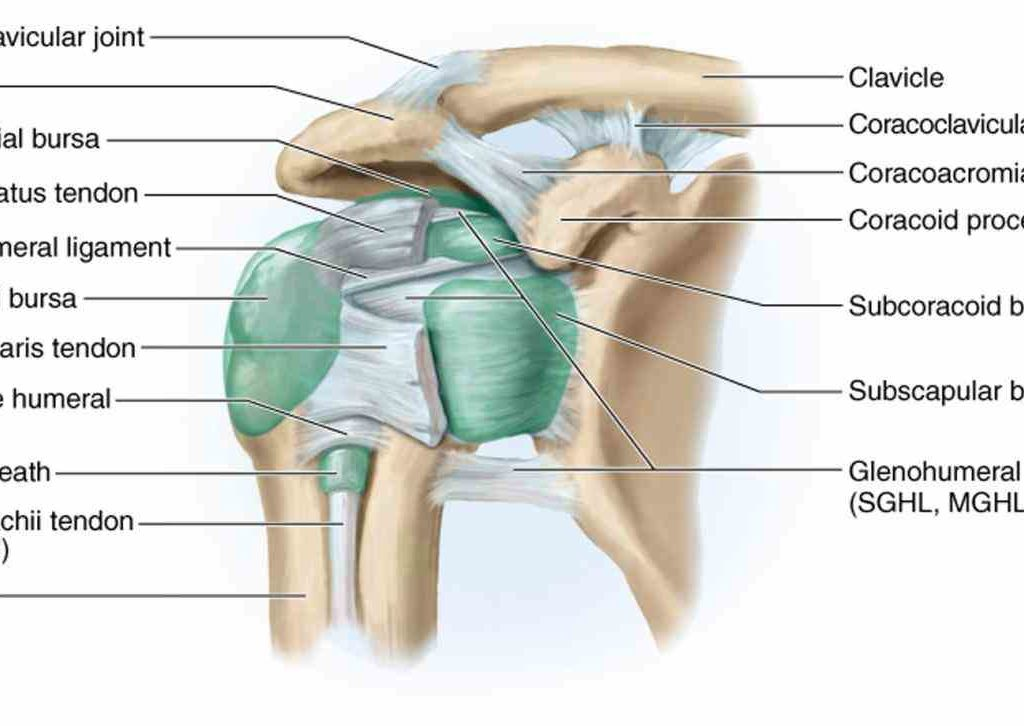 Joints definition anatomy