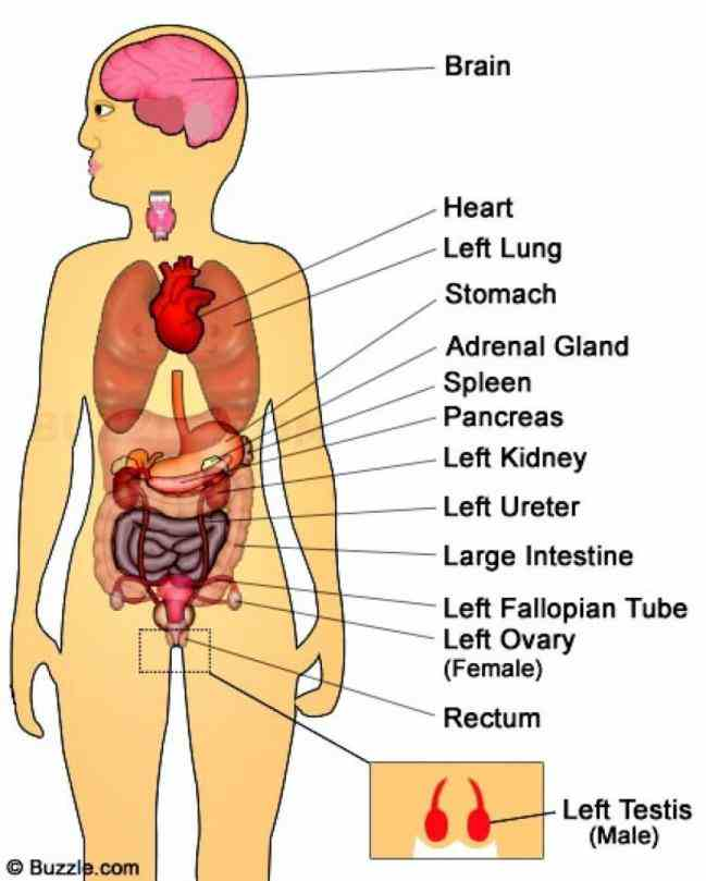 Of The Body means a group of tissues in living organism that have been adapted to perform specific function