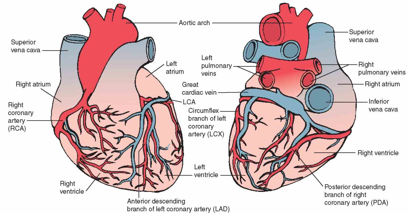Of The Heart Diagram arteries supply blood to the heart muscle there are two main right and left explore