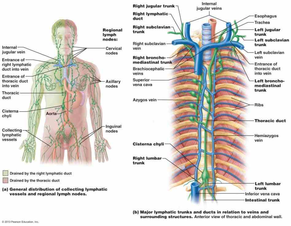Of The Lymphatic System And Their Functions lymphatic system consists of a fluid lymph vessels that transport and organs