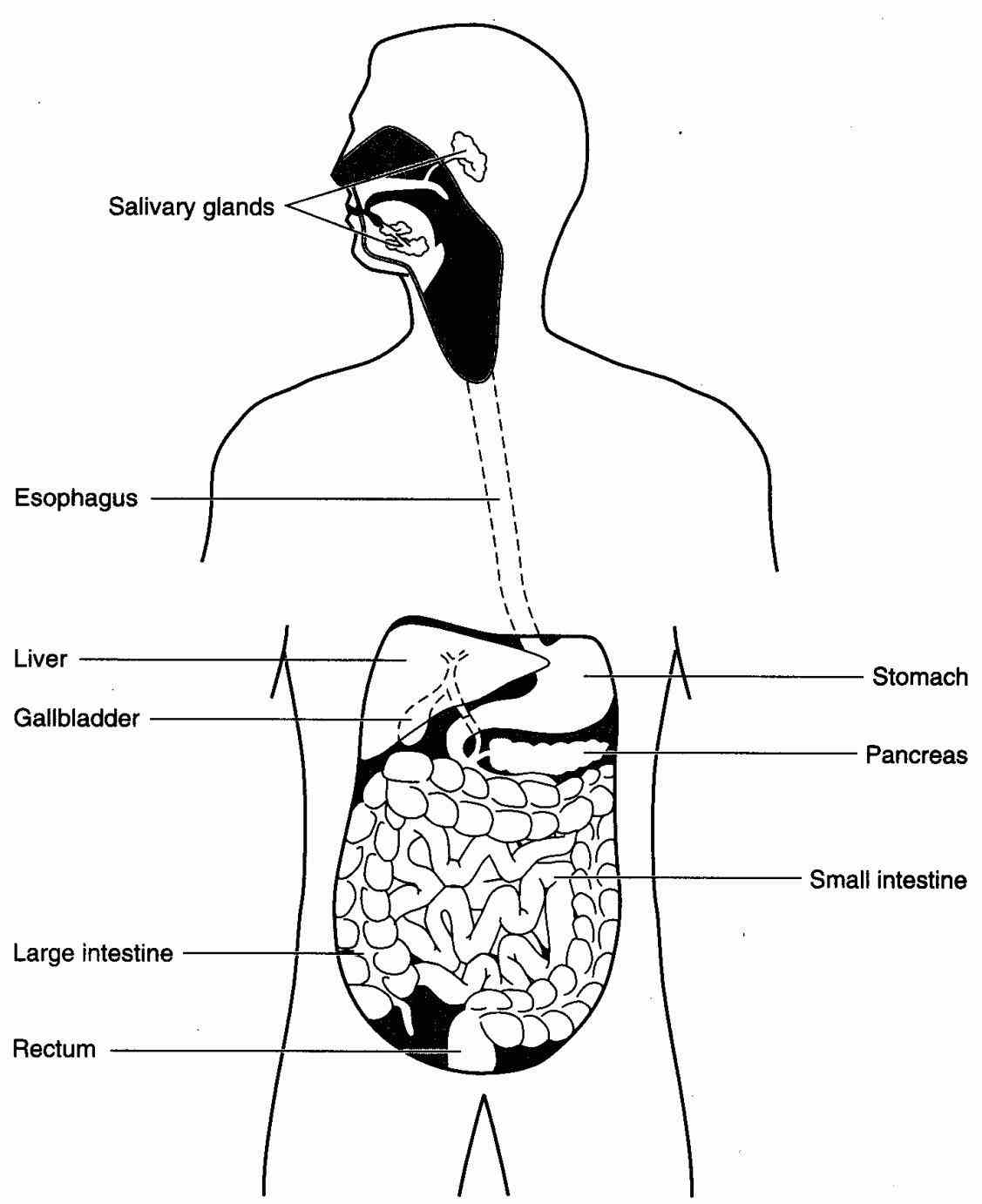 Organ Of Digestive System ago just how do we digest our food webmd explains the digestive system from top
