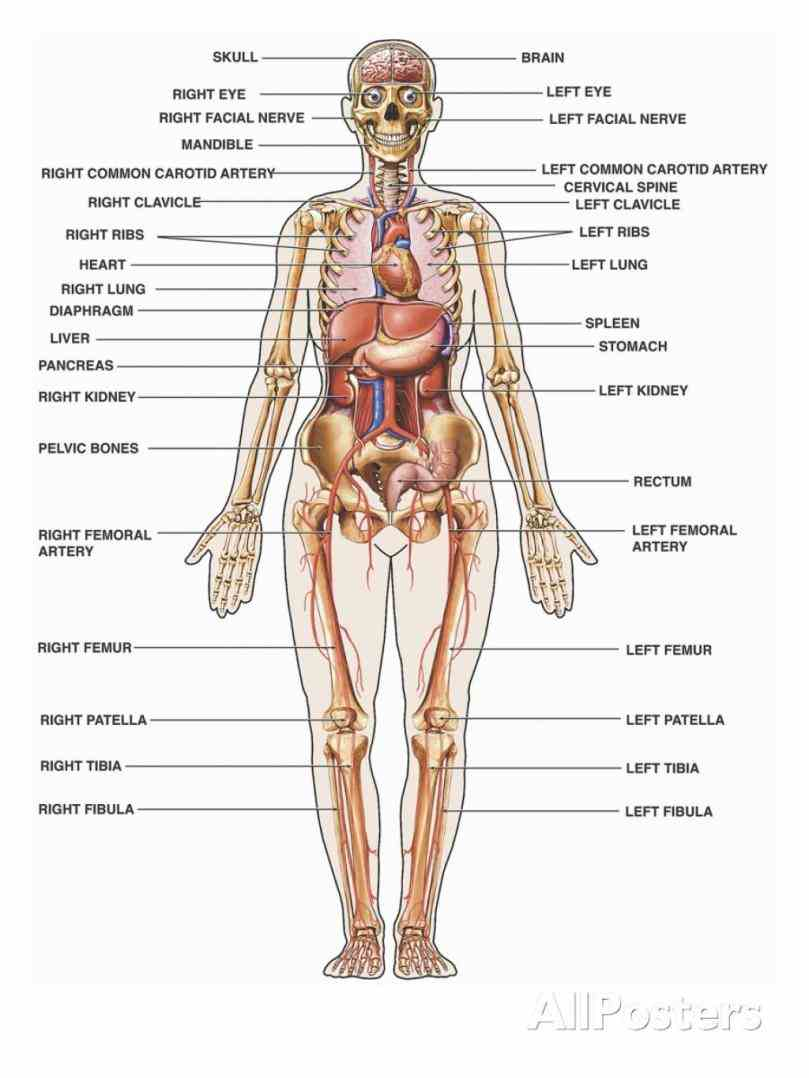 Organs In The Human Body of the human body is a complex machine with each organ and system working