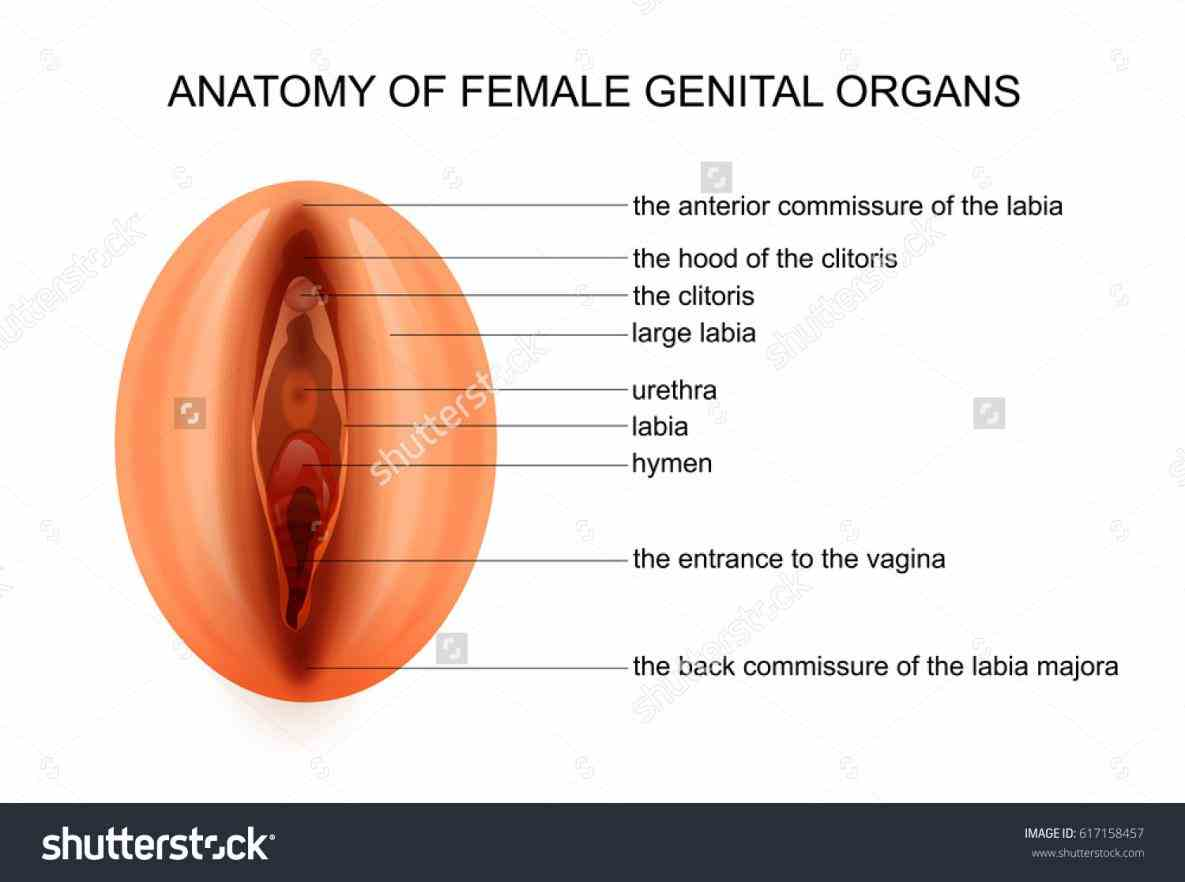 Organs the female reproductive system – interactive anatomy diagrams illustrate function of organs from fertilization to birth handb Anatomy