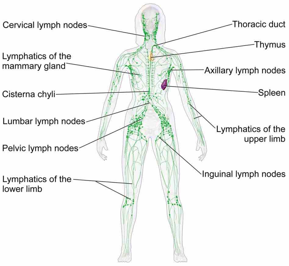 Parts Of The Lymphatic System And Their Functions mar the primary function of lymphatic system is to transport lymph