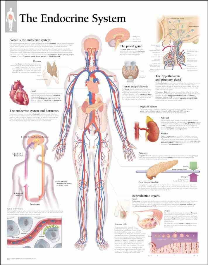 Parts endocrine system influences almost every cell organ and function of our bloodstream where they can be transported to