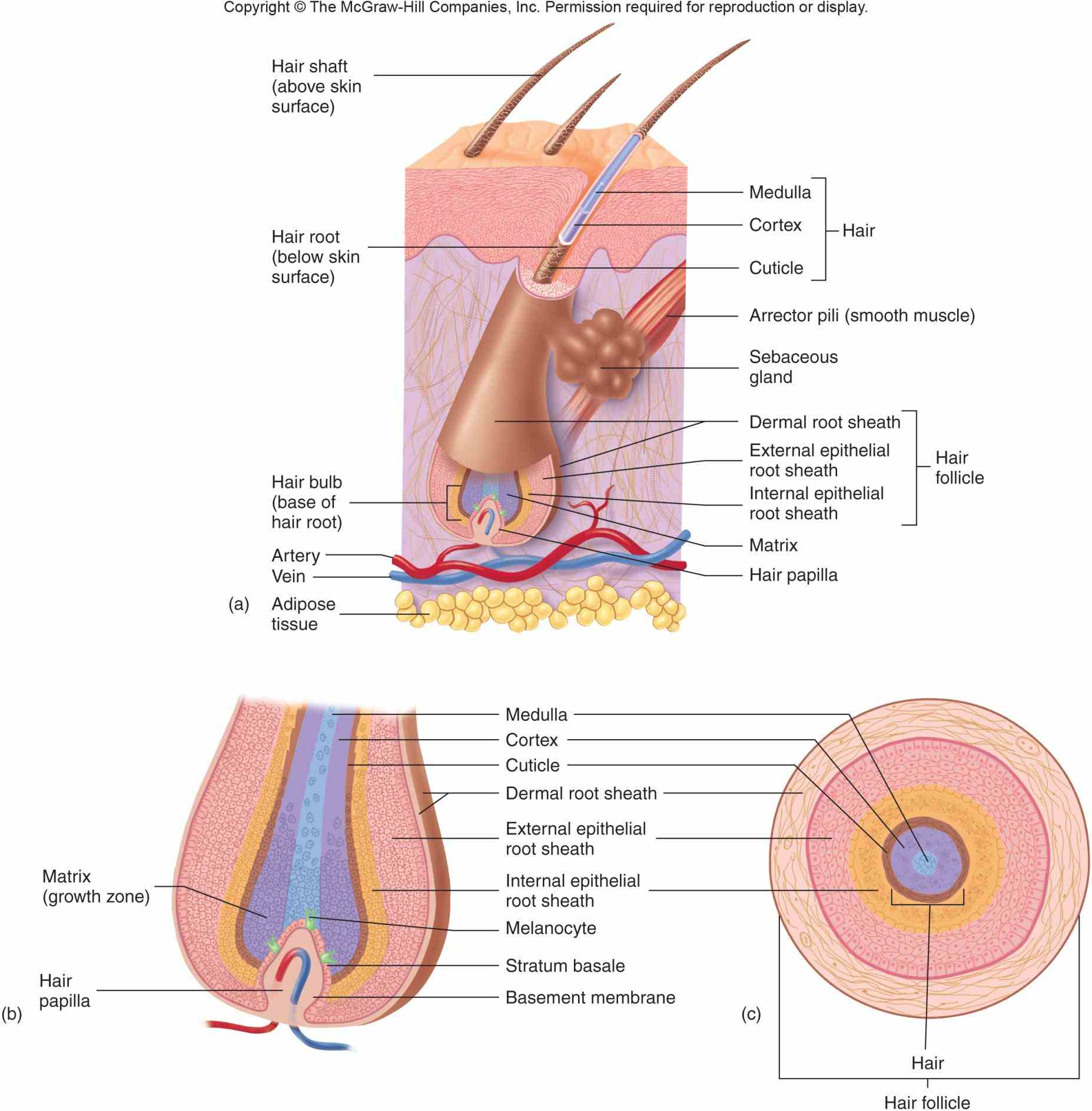 Integumentary System Parts And Functions Picture | MedicineBTG.com