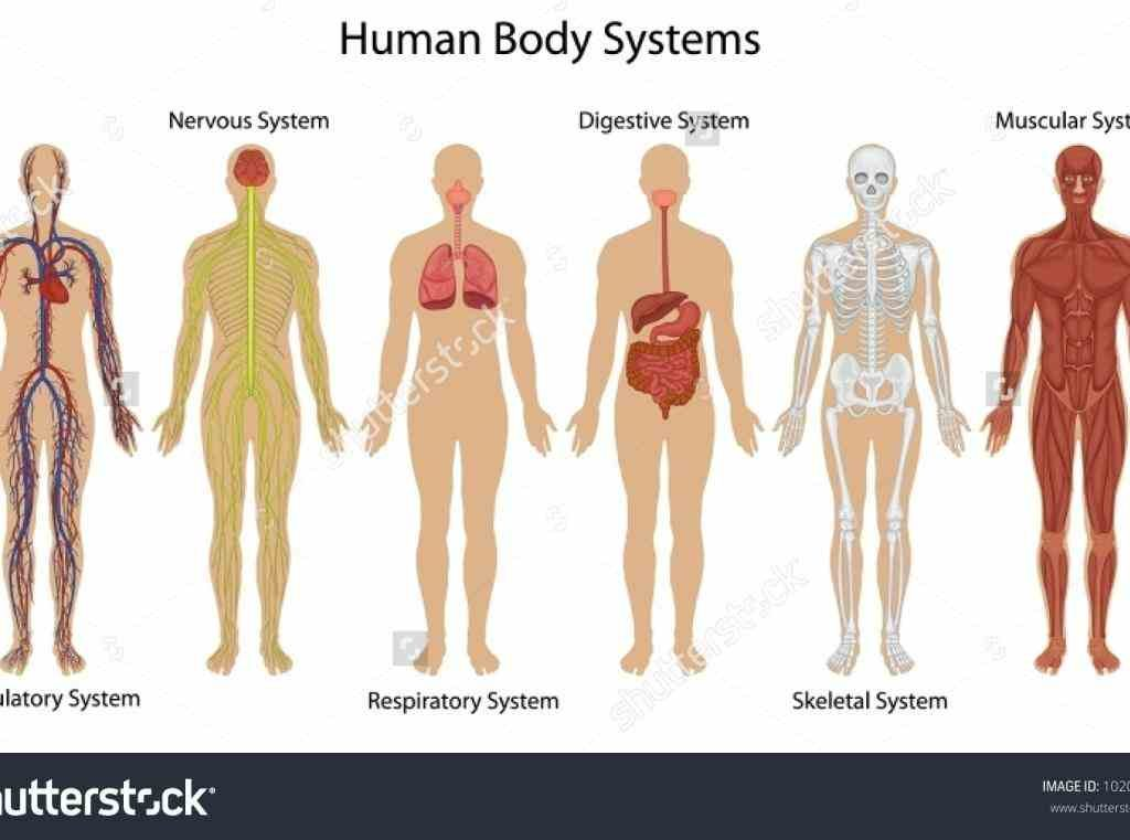 Pictures of the organs of the human body