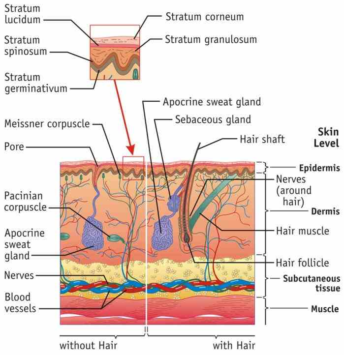 Pictures Of The Integumentary System Labeled skin diagrams health medicine and anatomy reference pictures explore human integumentary system more!