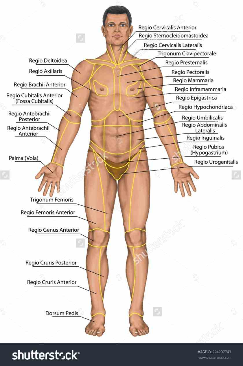 Regions Of The Body Anatomy studying anatomical terms body regions learn vocabulary and more with flashcards games other study