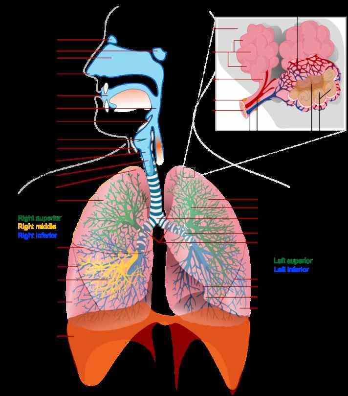 Respiratory System tissue within the body requires oxygen to function respiratory system which includes air passages pulmonary vessels lungs