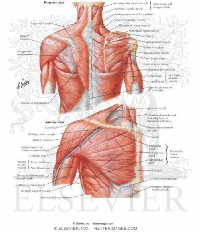Shoulder shoulder pain joint muscles anatomy knee xray rotator cuff wrist spine surgery in Anatomy Of The Human Shoulder