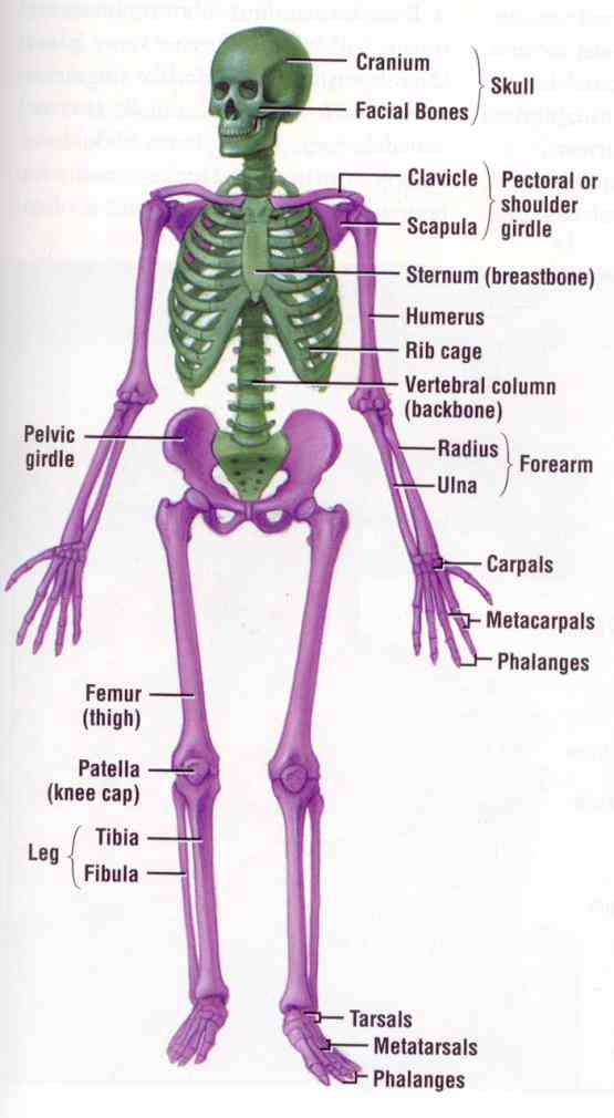 Skeletal System hard supportive or protective elements of animal body form skeleton majority animals have some type it may