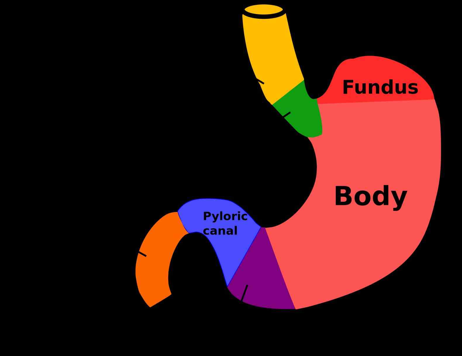 Stomach digestion of food stomach is the most important organ body so check this anatomy to know structure and