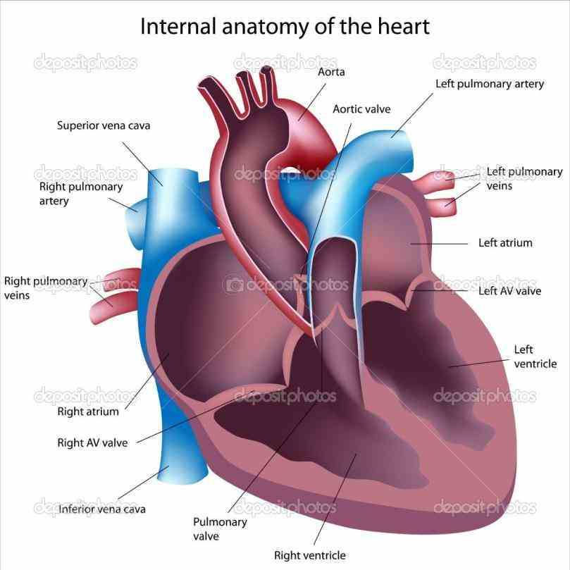 Structure Diagrams structure of heart easy way to draw by steps labeling how Heart Internal Structure Diagrams to draw