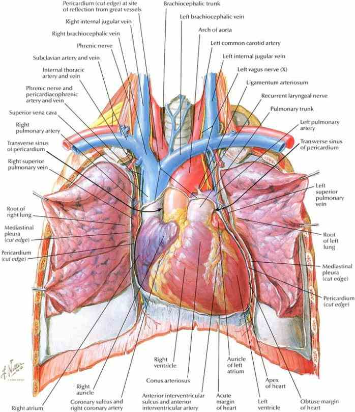 Subclavian Vein the subclavian vein is major of arm shoulder and neck its name means under clavicle due to