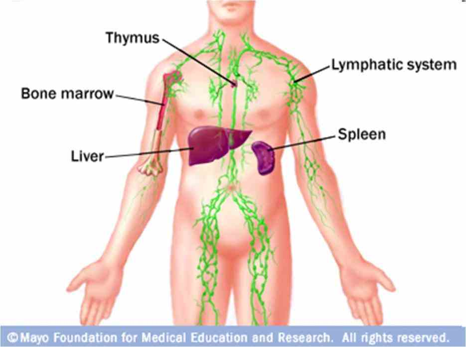 System Function And Organs jun the immune system is very complex it made up of several types organs and