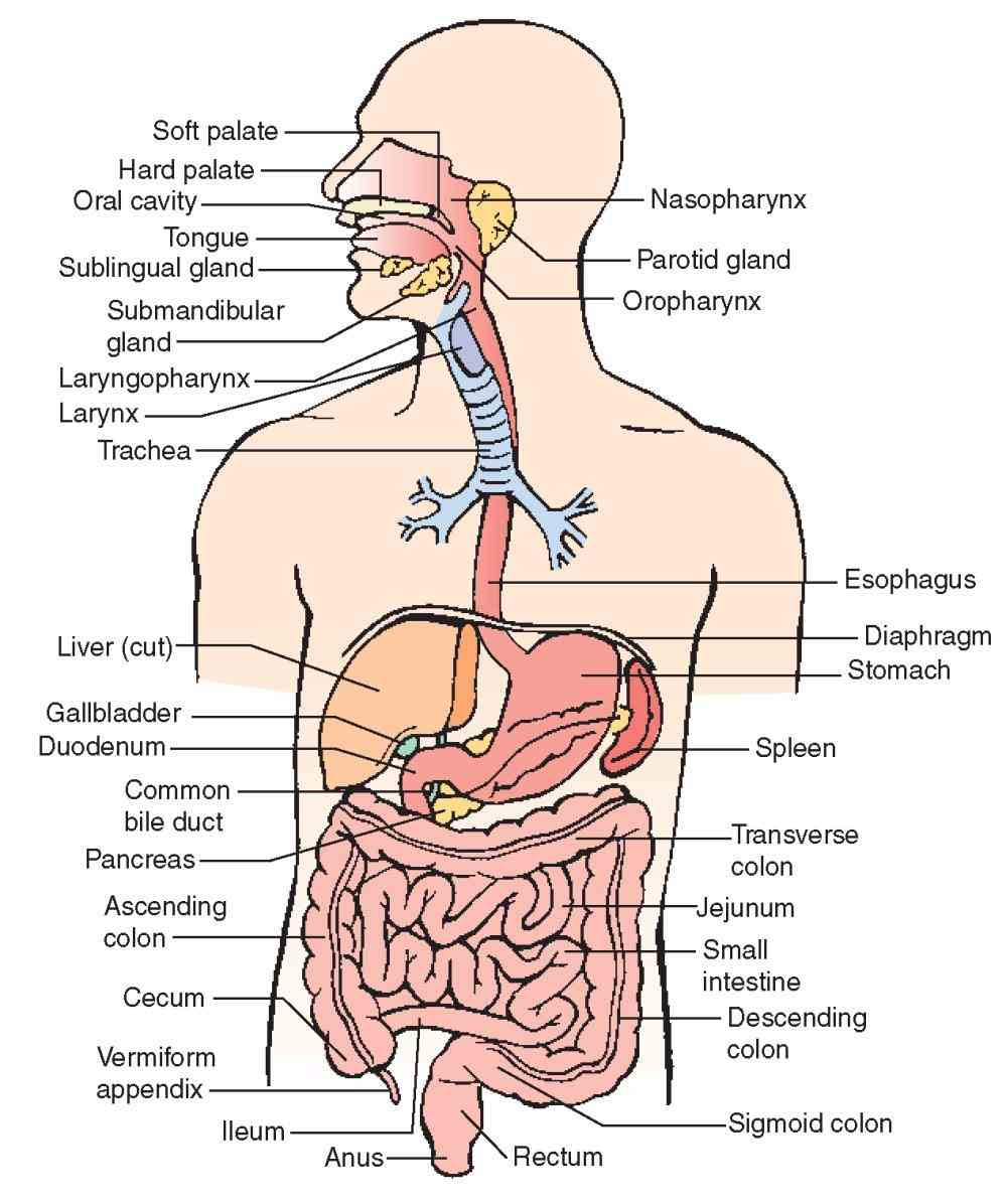 System Human Body Anatomy abr digestion is the process by which food broken down into smaller pieces so body
