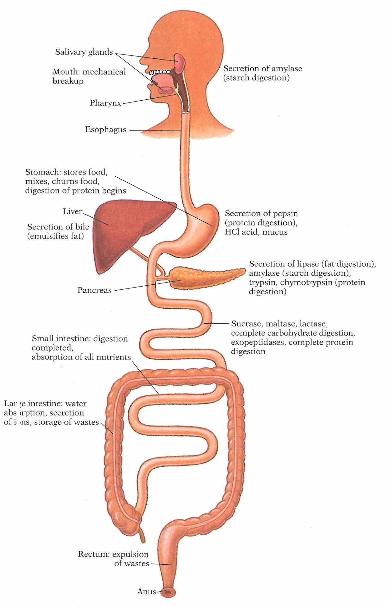 System Human Body human digestive system pictures and royaltyfree images from istock woman holding model of intestines in front