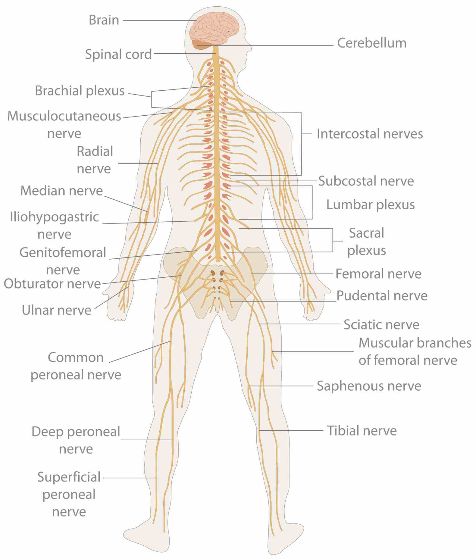 System Of The Body nervous system sends messages to brain at km per hour • largest and longest nerve