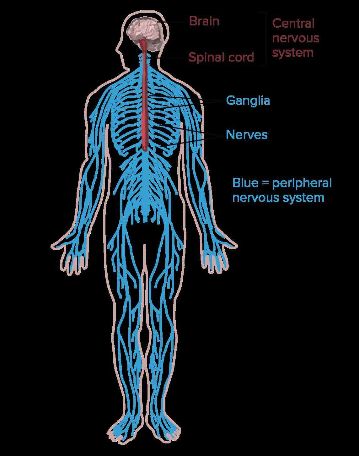 System Of The Body the structure of a neuron allows it to receive and transmit information in humans other
