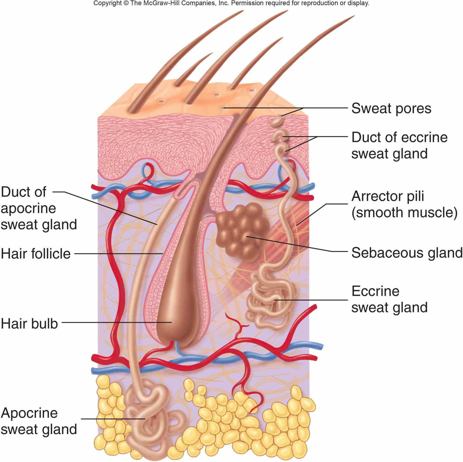 System Organs And Functions student resource accompanies the lesson skin as an organ integumentary system has many functions most