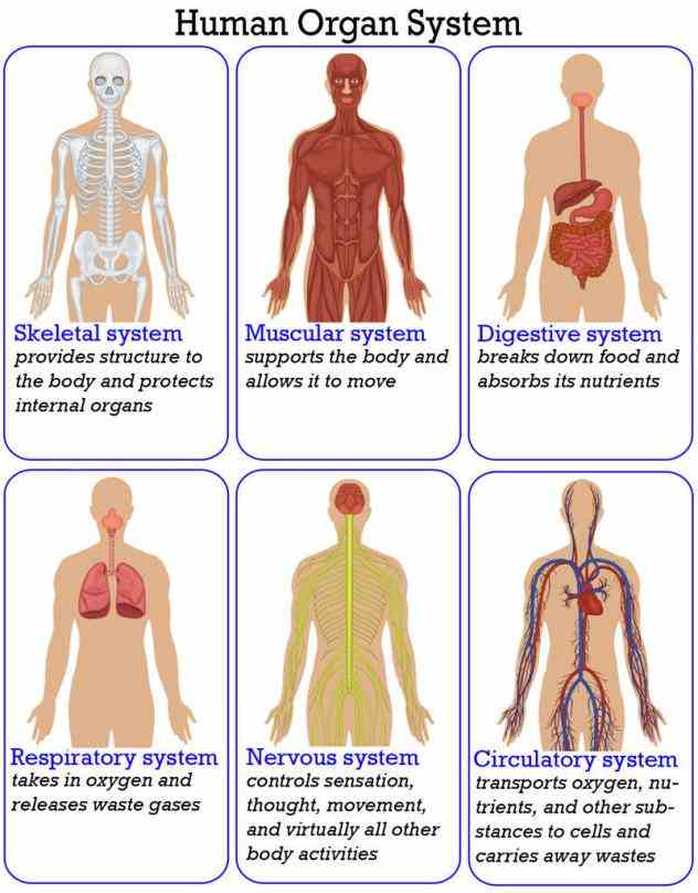 Systems learn the names of your organ systems organs that each system is made description show us what youre
