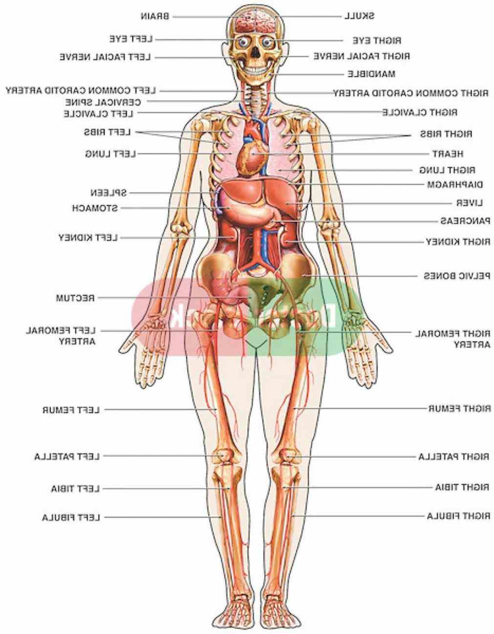 The Body Diagram Anatomy external body parts diagram part of female reproductive system external External Parts Of The Body