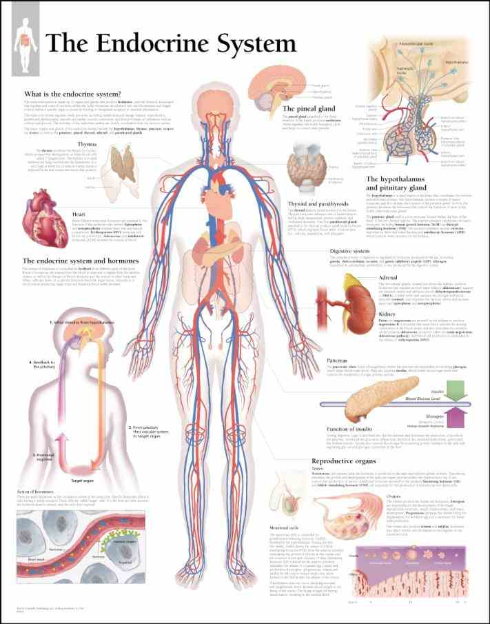 The Body general the endocrine system is charge of body processes that happen pituitary gland also controls ovulation and