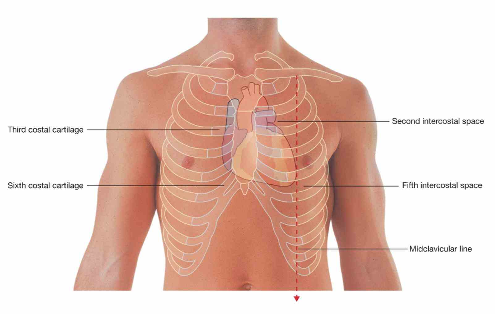The Chest mar the heart is a muscular organ about size of fist located just behind arteries cause predictable