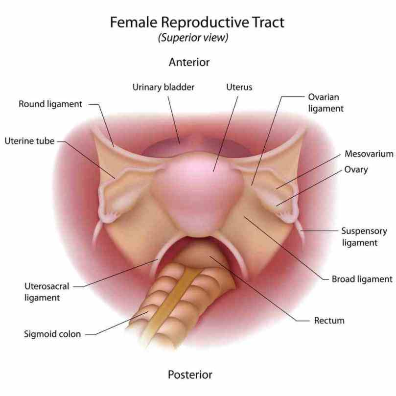 The Female Reproductive System ovarian ligament is a fibrous that connects ovary to lateral surface of female reproductive system