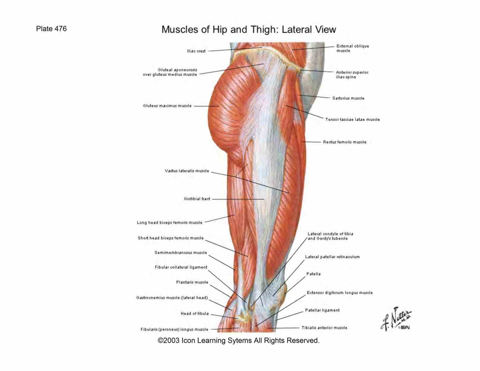 The Gluteal Region the cutaneous nerves you are cutting through as skin gluteal region can identify these branches of