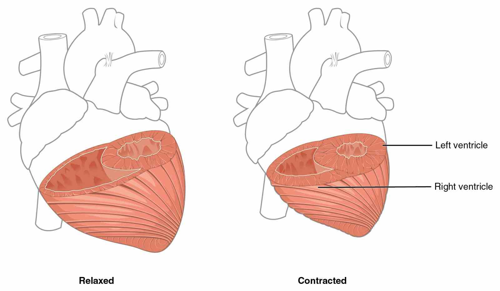 The Heart para layers of the heart wall consists three epicardium external layer myocardium middle and the  de Anatomy