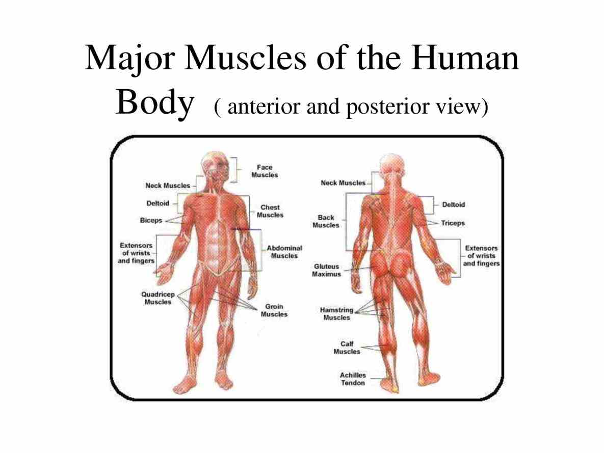 The Human Body Diagram studying gj anatomy major systems of the body learn vocabulary terms and more with flashcards