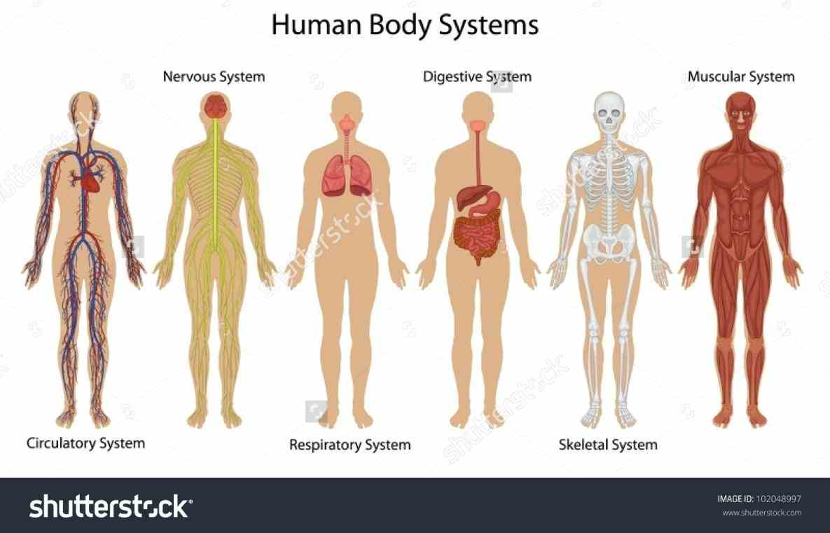 The Human Body Systems Anatomy d models of all human body systems by offering rich detailed anatomical images alongside