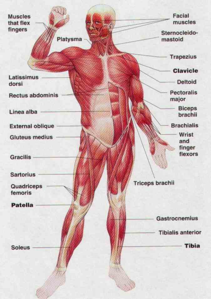 The Human Body diagram showing a front view of muscles in the human body anatomy Muscle Anatomy Of The