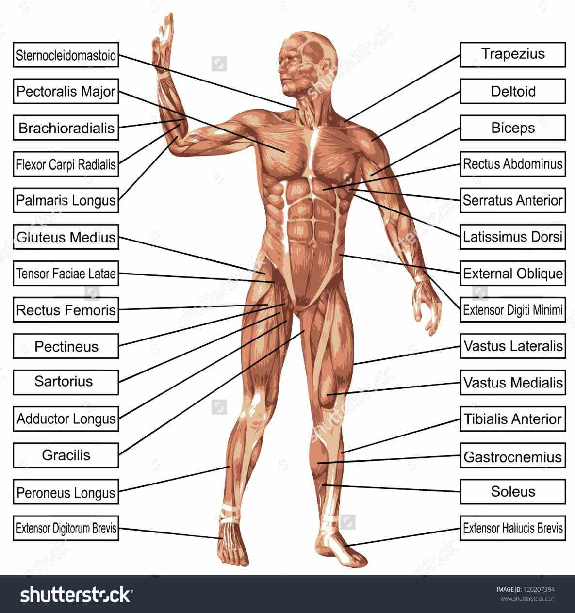 The Human Body video is for educational purposes only!!! we are looking at normans model muscles in muscles Muscle