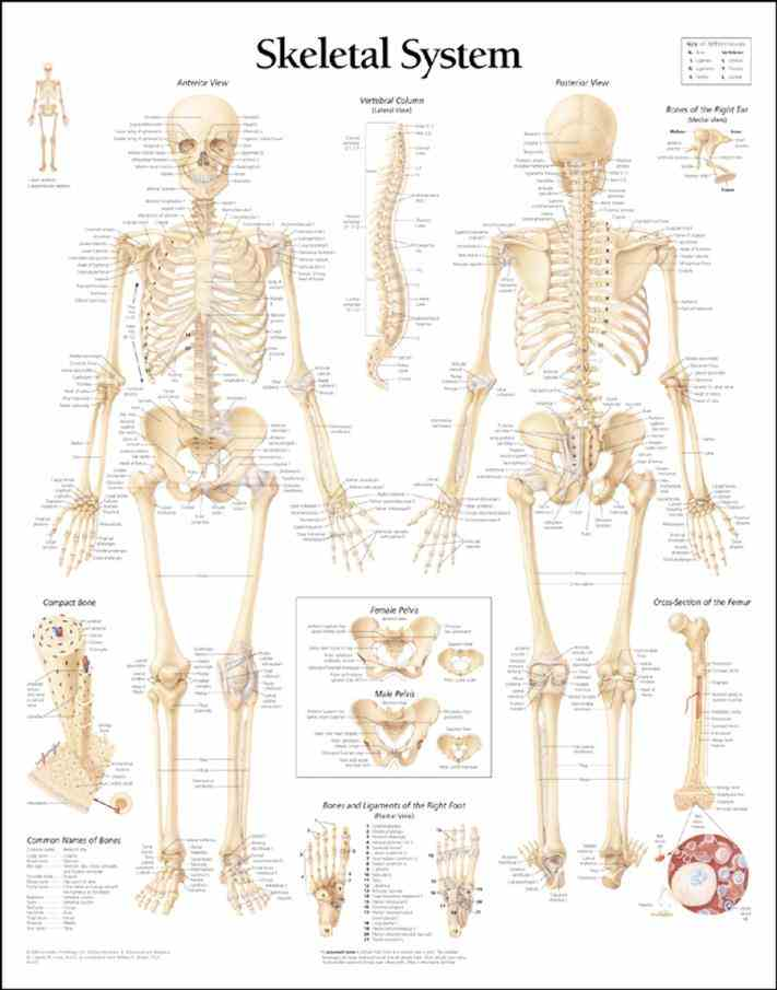 The Human Skeletal System human skull is part of skeleton that supports structures face and forms a cavity for