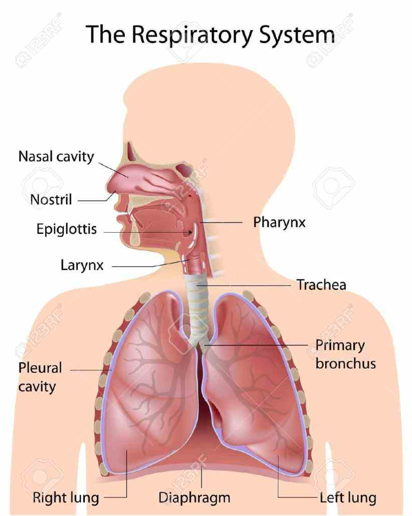The Respiratory System Of A Human mai the respiratory system is in human body that enables us to breathe
