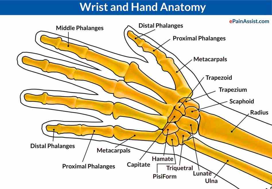 Anatomy of the right hand