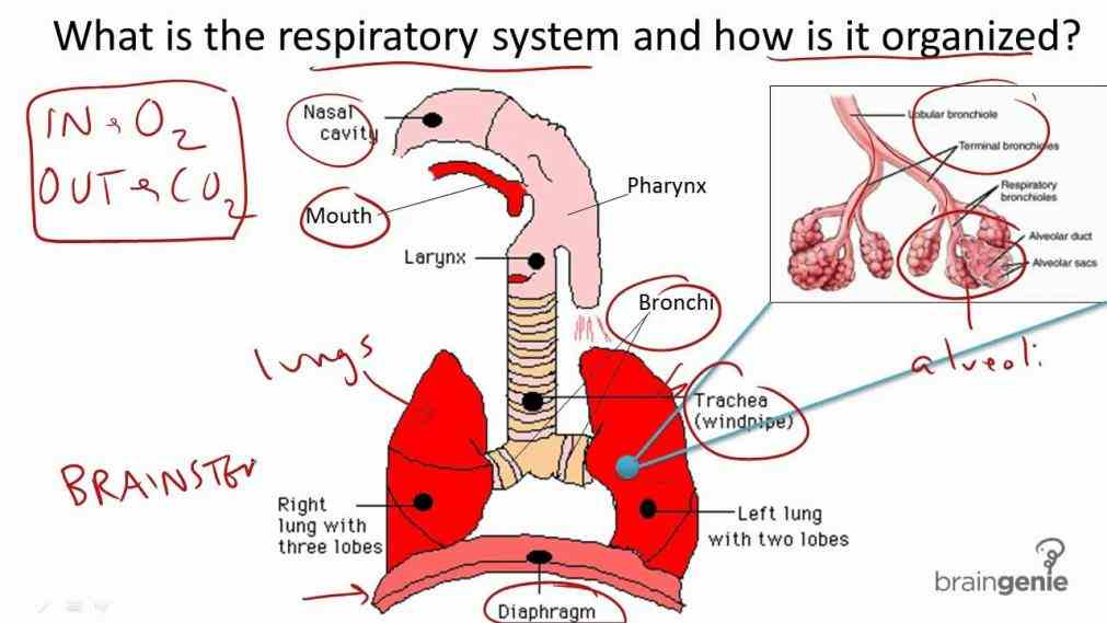 Their Function mai the respiratory system is divided into two parts inhalation and exhalation are involuntary therefore their control