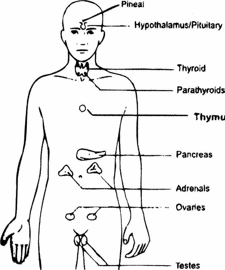 Their Functions page contains a list of glands the human body · anatomical male figure showing heart names location