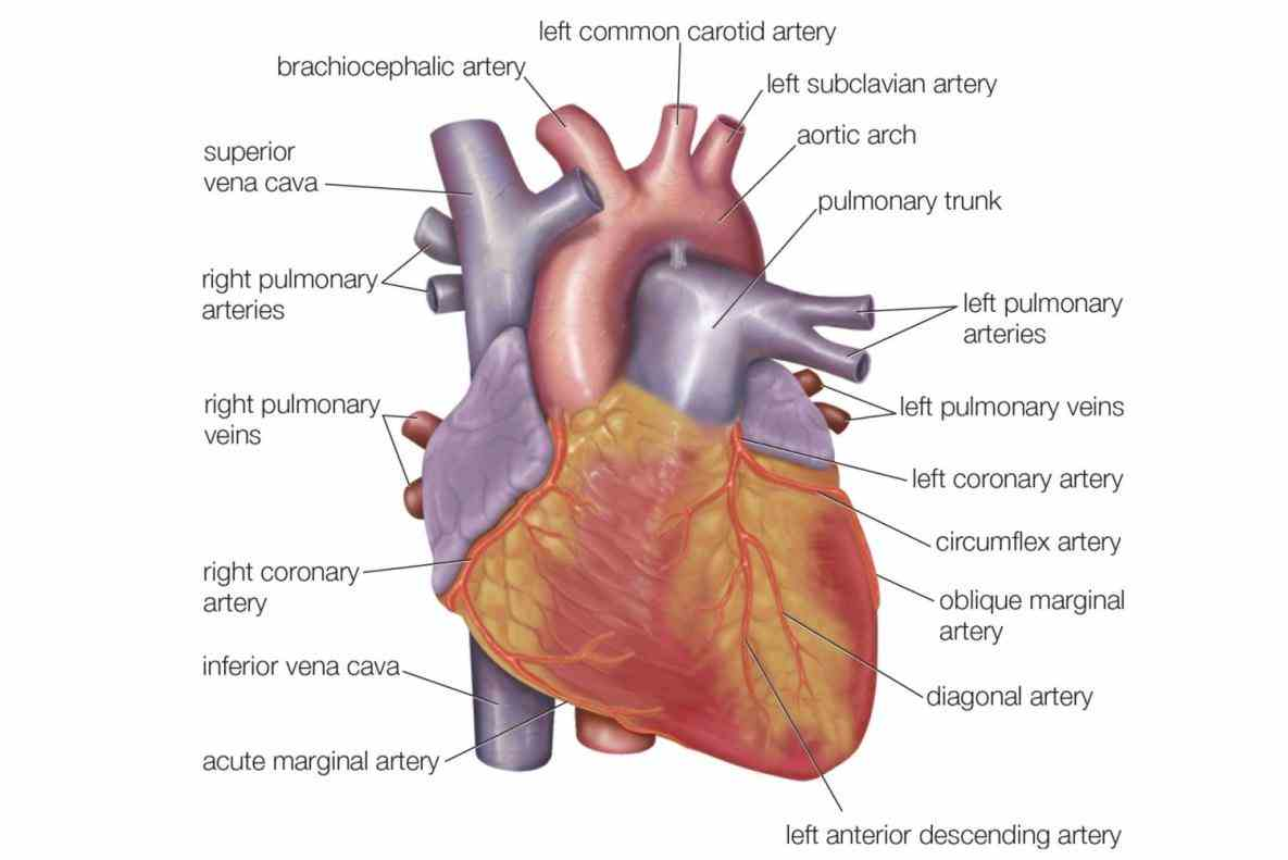 Three Layers Of The Heart this lesson you will learn about the three layers of heart epicardium myocardium and