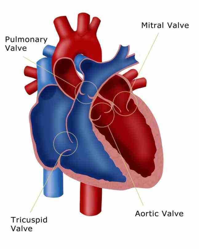 Valves In The Heart set watch an animation of heart valve anatomy closes off the lower right chamber or