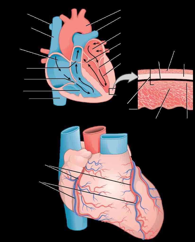 Vessels In The Heart and inferior vena cava returns deoxygenated blood back to the heart from body pulmonary artery