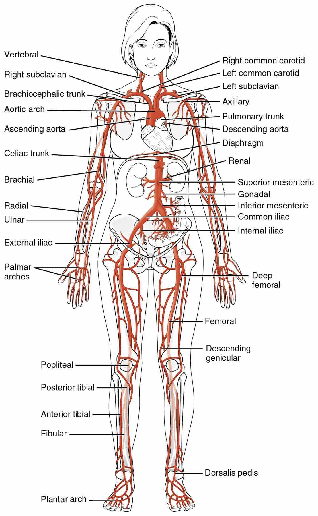 Vessels Of The Body abr play this quiz called arteries of the body and show off your skills in