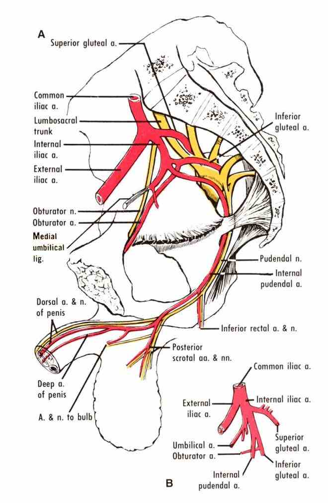 a Anatomy Of Internal Iliac Artery useful mnemonic to remember the branches of internal iliac artery is i love