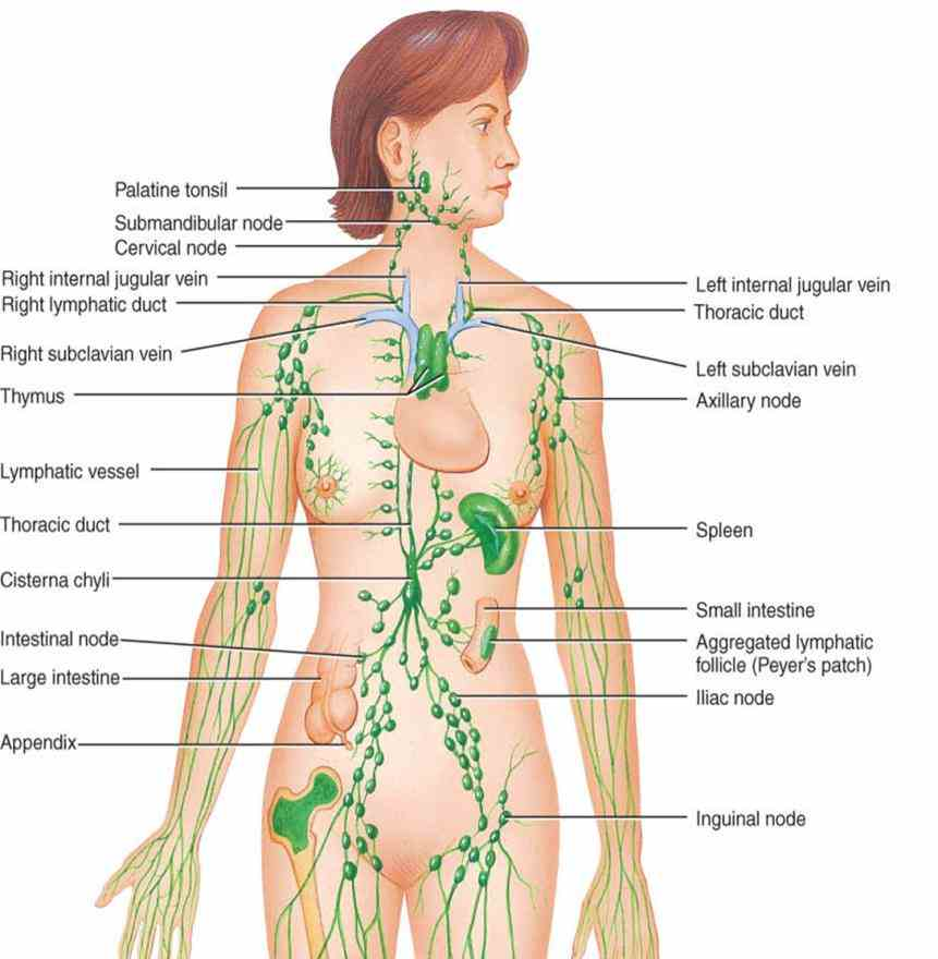 Parts Of The Lymphatic System And Their Functions Pictures Wallpapers